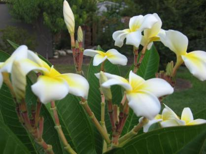 Plumeria rubra 'Edi Moragne'