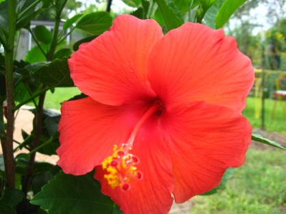 Hibiscus rosa-sinensis 'Red Hot'